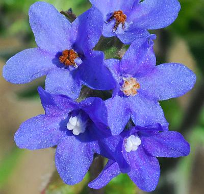 Anchusa_officinalis_corollas.jpg