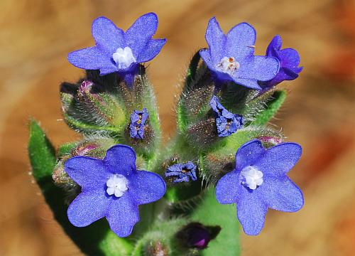 Anchusa_officinalis_flowers.jpg