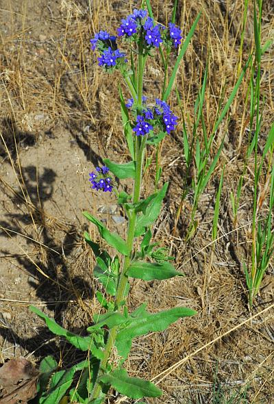 Anchusa_officinalis_plant.jpg
