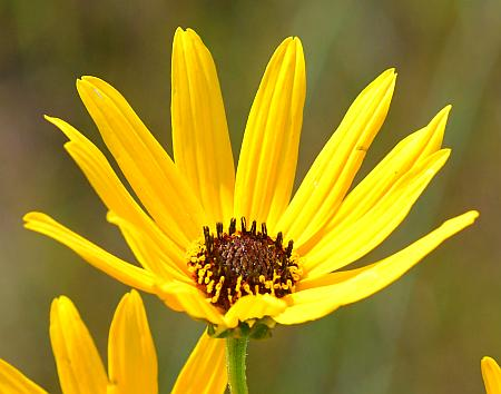 Helianthus_angustifolius_head.jpg