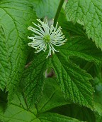 Hydrastis canadensis thumbnail