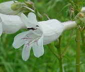 Penstemon digitalis thumbnail
