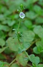 Veronica serpyllifolia thumbnail